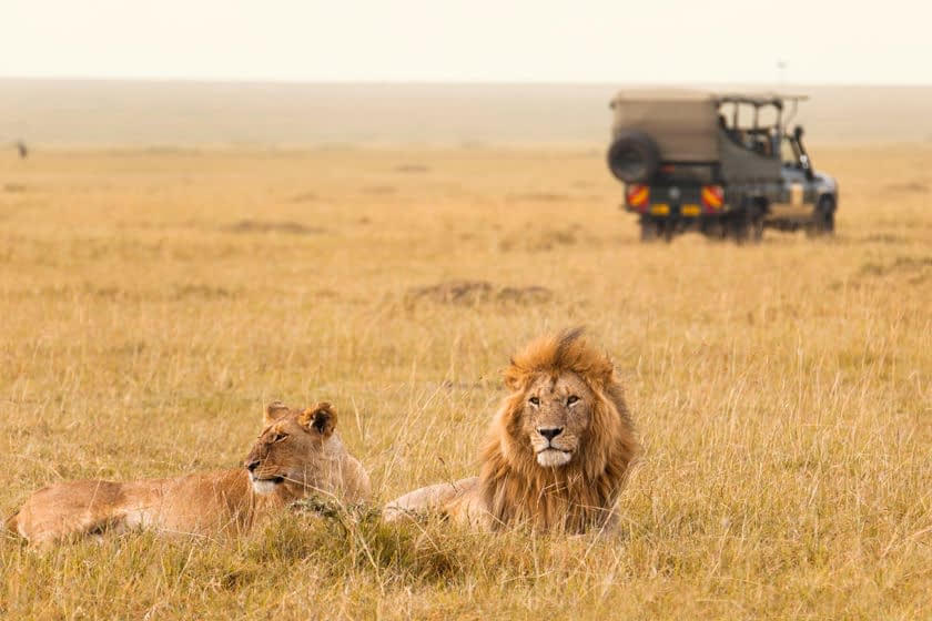 African lion couple and safari jeep in the background